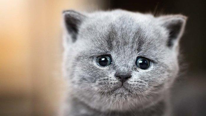 Penelitian Sebut Kucing Bisa Terinfeksi Virus Corona COVID-19